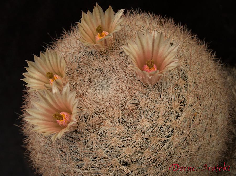 Mammillaria candida ©DornenProjekt Mammillarien von A-Z