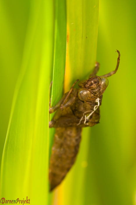 leere Puppenhülle einer geschlüpften Libelle ©DornenProjekt
