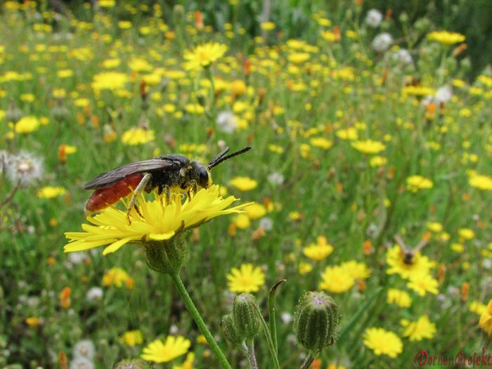 Wiese mit Korbblütlern lockt zahlreiche Insekten