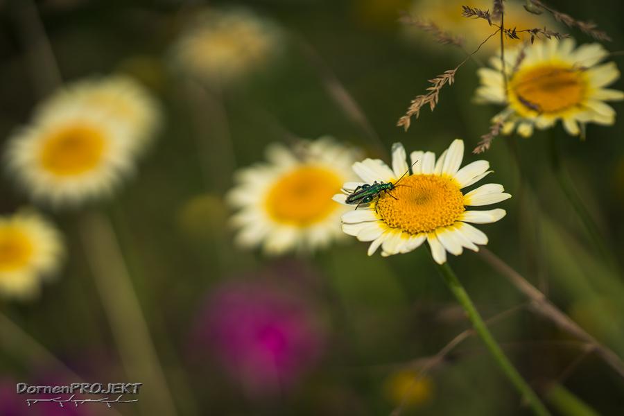 Grüner Scheinbock in der Blumenwiese ©DornenProjekt