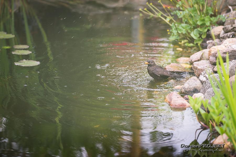 Amsel (Turdus merula) bei einem ausgiebigen Bade ©DornenProjekt Vogelfotografie im eigenen Garten