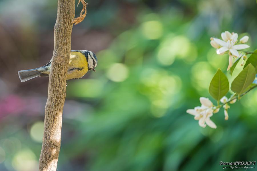 Blaumeise (Parus caeruleus) ©DornenProjekt Vogelfotografie im eigenen Garten