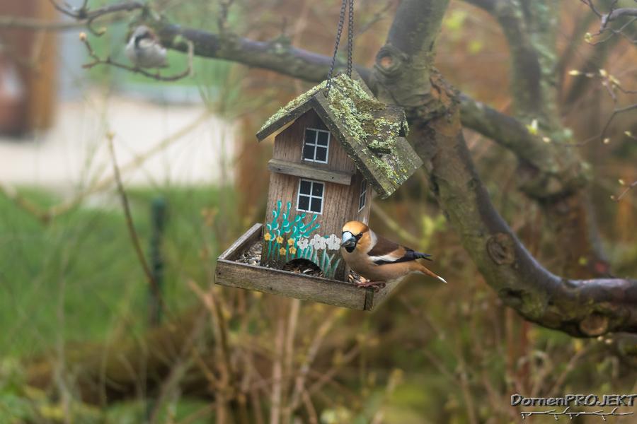 Kernbeisser (Coccothraustes coccothraustes) ©DornenProjekt Vögel fotografieren im eigenen Garten