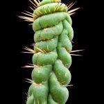 Eulychnia castanea ©DornenProjekt