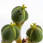 Euphorbia melanoformis ©DornenProjekt