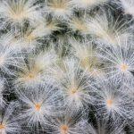 Mammillaria-plumosa ©DornenProjekt