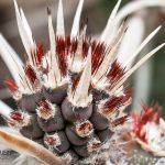 Tephrocactus articulatus ©DornenProjekt
