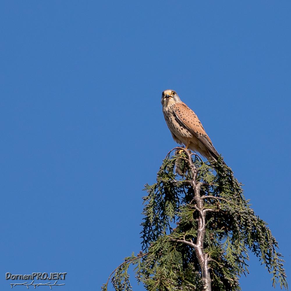 Falco tinnunculus (Turmfalke) männl. ©DornenProjekt (Heimische Vögel ganz nah die 111 häufigsten Arten)