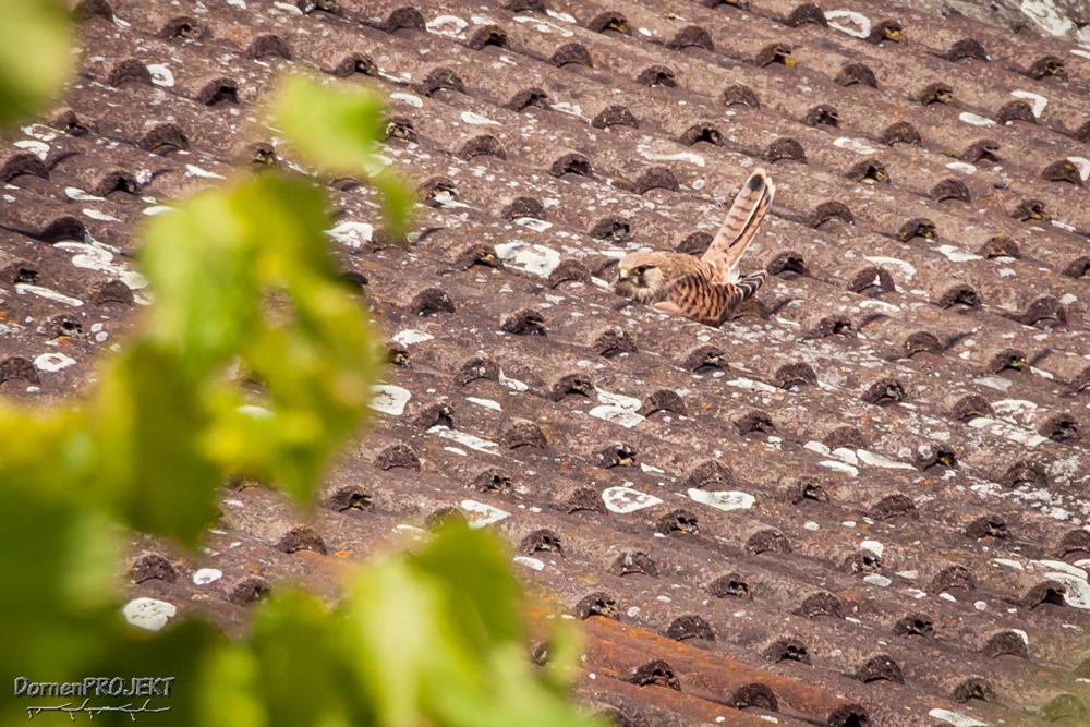 Falco tinnunculus Jungvogel ©DornenProjekt (Heimische Vögel ganz nah 111 häufigsten Arten)