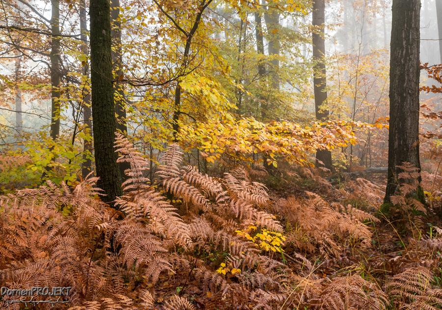 Adlerfarn im Herbst ©DornenProjekt