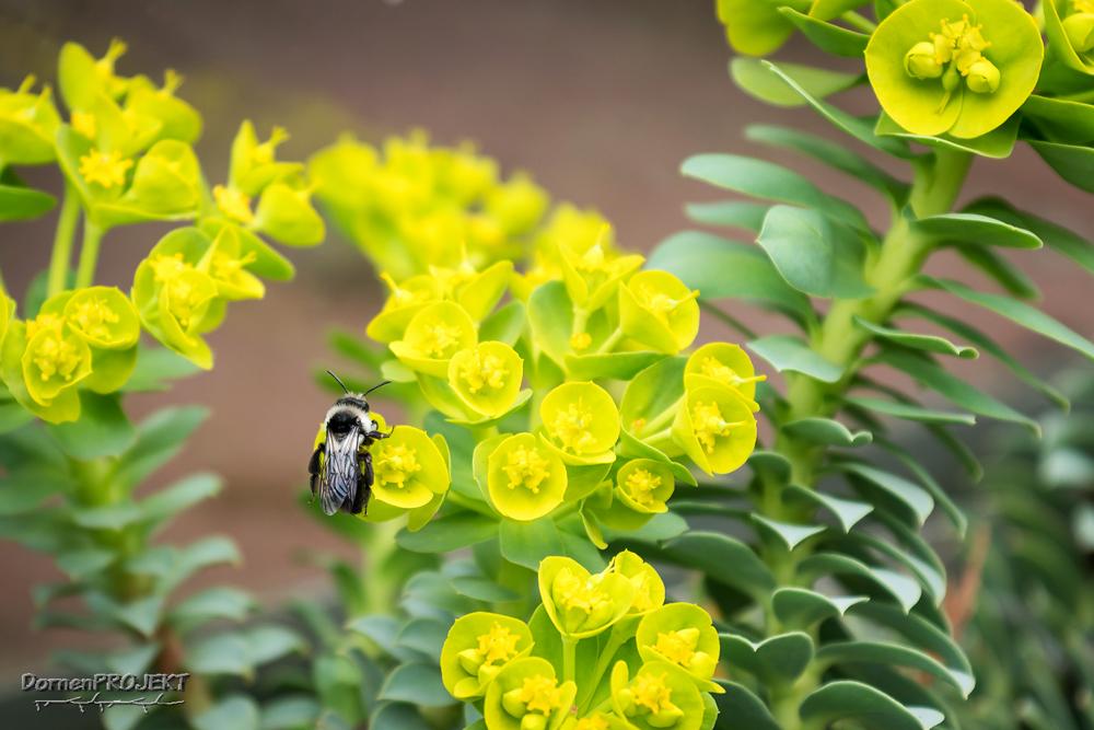 Wildbiene auf Walzenwolfsmilch ©DornenProjekt (Der Friedhof lebt Artenvielfalt)