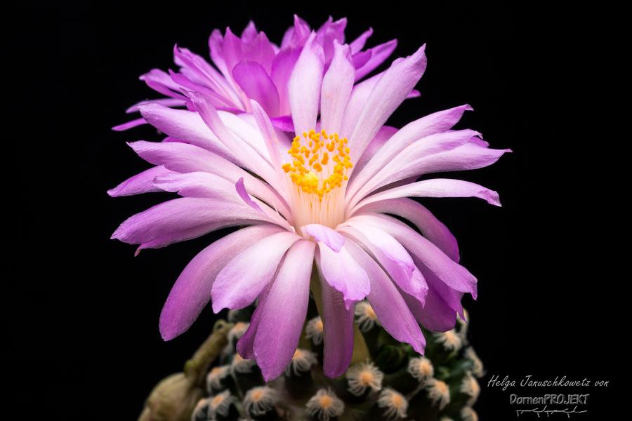 Mammillaria theresae ©DornenProjekt (Kakteen und Sukkulenten)